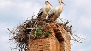 Фильм  Животный мир Птицы  Жизнь аиста в природе