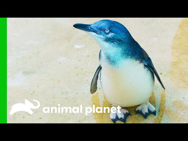 The Penguins From The Bronx Zoo Are Just Too Cute! | The Zoo
