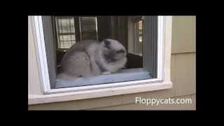 Ragdoll Cats Fall Out of 2nd Story Window - ねこ - ラグドール -- Floppycats