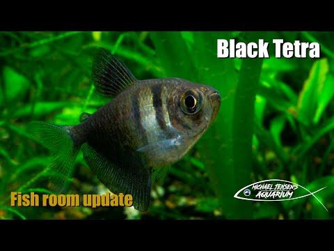 Black Tetra, Black Widow, Black Skirt Tetra