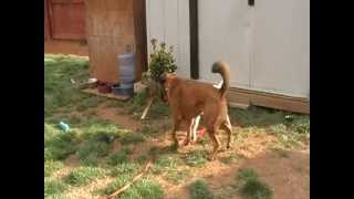 German Shepherd Mix Outsmarts A Jack Russell