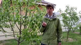 видео плодовые деревья  (Сад) / Поиск по тегам / Страница 3 / Мои дачи