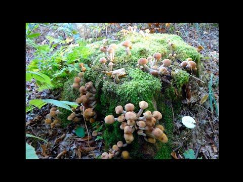 Собираем грибы в лесу (опята, польские грибы, решетняки, сыроежки, гриб колпак, грузди)