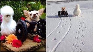 Abandoned Two legged Chihuahua& a chicken develop liking for each other & spend their life together