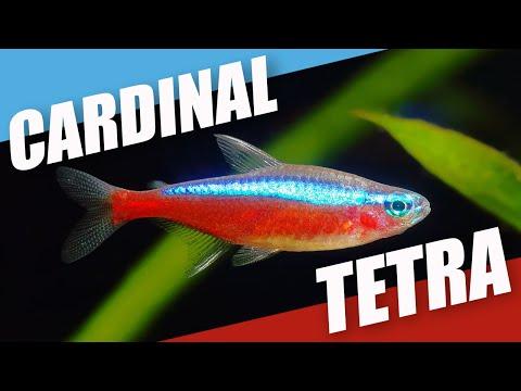 Species Spotlight | Cardinal Tetra