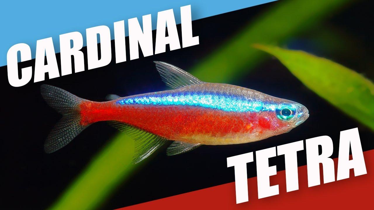 Species Spotlight   Cardinal Tetra