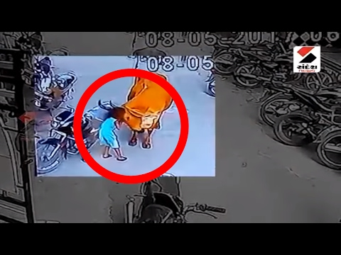 Shocking News! Cow attacks a small girl at Surat॥ Sandesh News