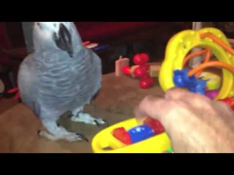 Congo Grey Jala seeing her toys for the first time