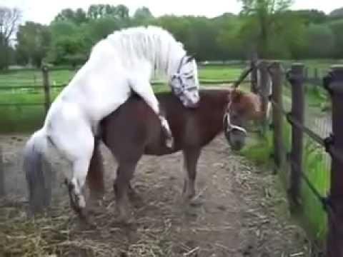 Спаривание Лошади С Пони Horses Mating With Pony Спаривание Лошади С Пони