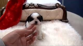 Teacup Shihtzu Laura! Shih Tzu Puppy For Sale