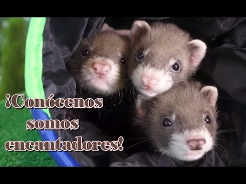 FERRETS - The ferret as a pet. How is he? A very funny and sociable pet