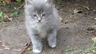 Котенок серый и пушистый.Маленький озорной котенок. Видео для Детей Funny Kittens.Смешной КОТИК.