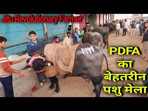 👍13th PDFA MELA- organised @Jagraon, Punjab. Super #Livestock taking part in this EXPO.👍