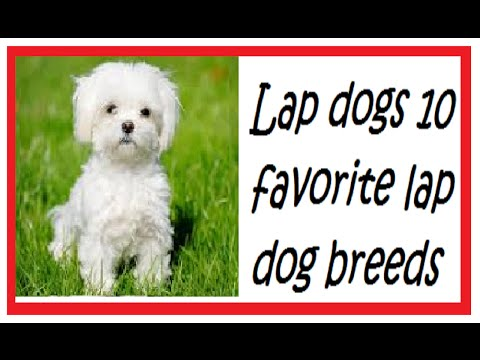 Lap dogs | 10 favorite lap dog breeds