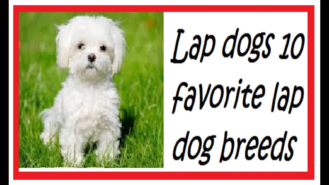 Best Small Lap Dog Breeds