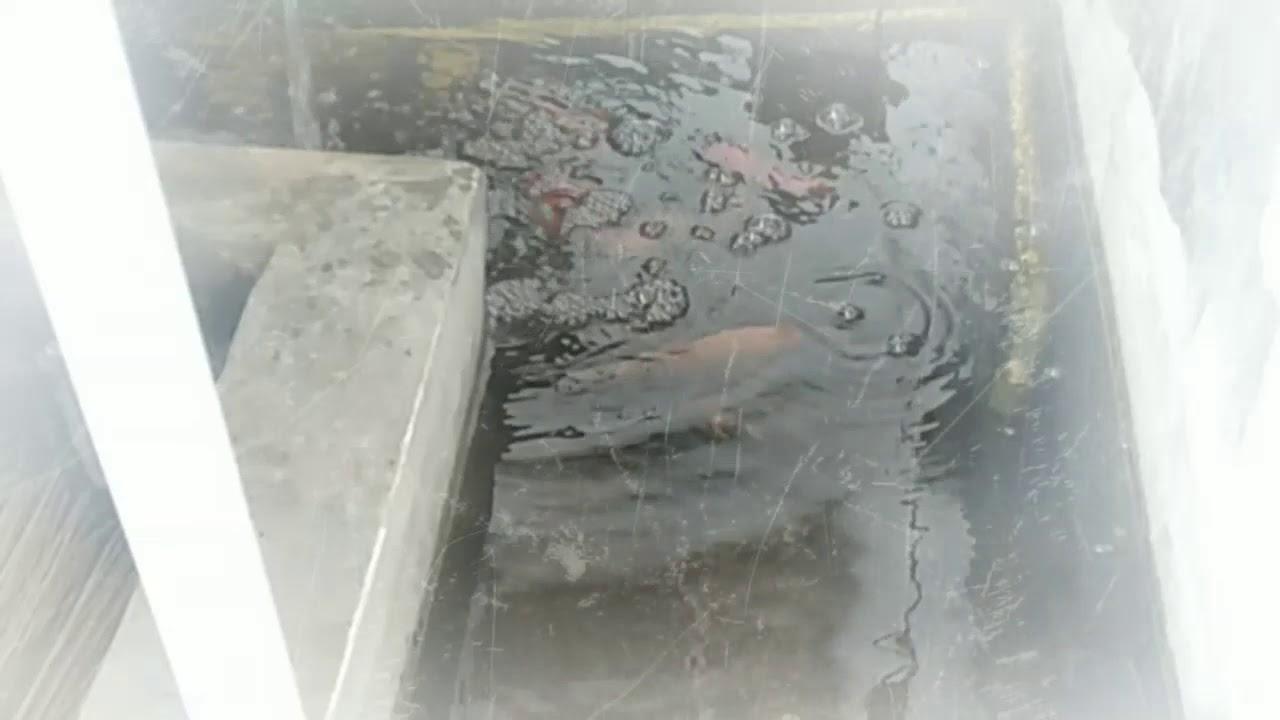 Ikan Koi Murah