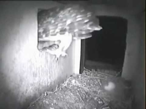 61. Little-Owl Owlets: We Don't Like The Beetles