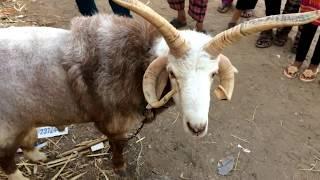 Bakra Mandi 2017 Lalukhet | Goat For Sale In Karachi | Video In Urdu/Hindi