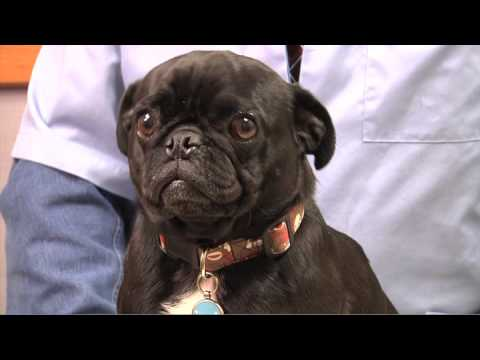The Ins and Outs of Pug-Nosed Breeds