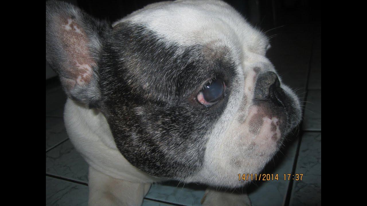 Royal canin предоставляет возможность заказать специализированный корм для данной породы french bulldog adult онлайн, а также купить его в.