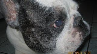 собака породы французский бульдог. Как выглядит?
