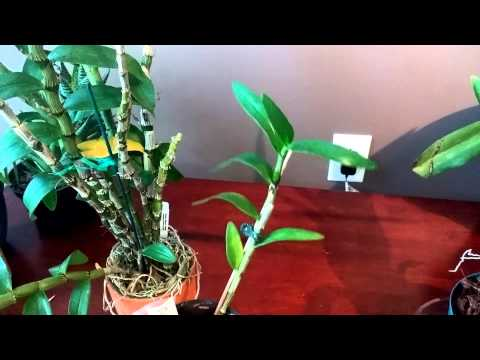 Growing Dendrobium Nobile