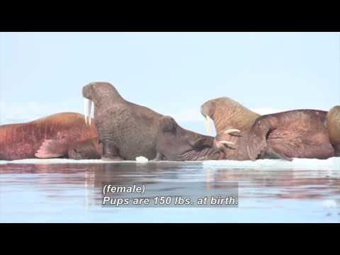 Tracking Pacific Walrus: Expedition To The Shrinking Chukchi Sea Ice (Accessible Preview)