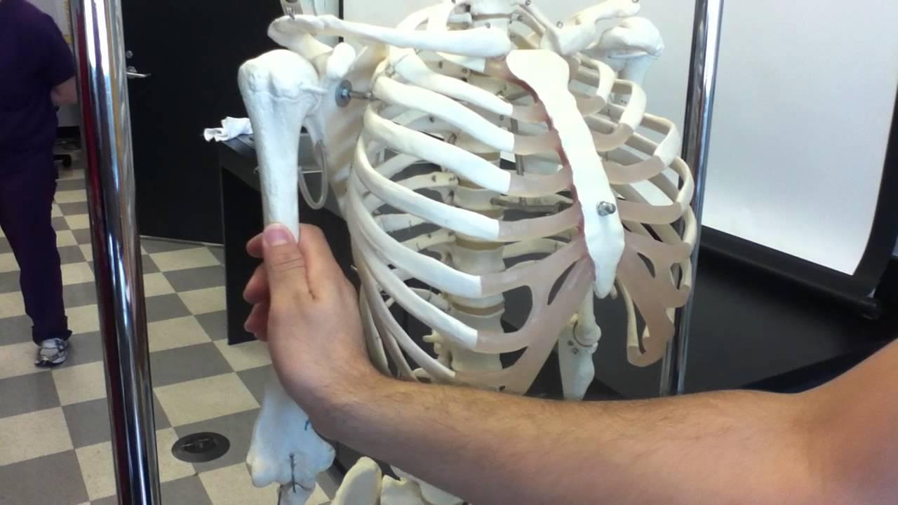 Shoulder Skeleton Youtube