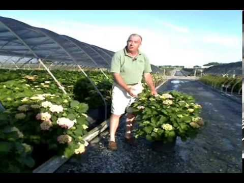 Forever Ever Hydrangeas At Overdevest Nursery
