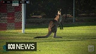 Kangaroo invades field at Australian soccer match