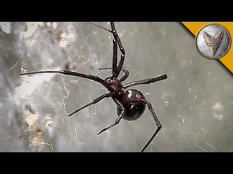 Thumbnail: Black Widow Spider Is Too Close For Comfort!