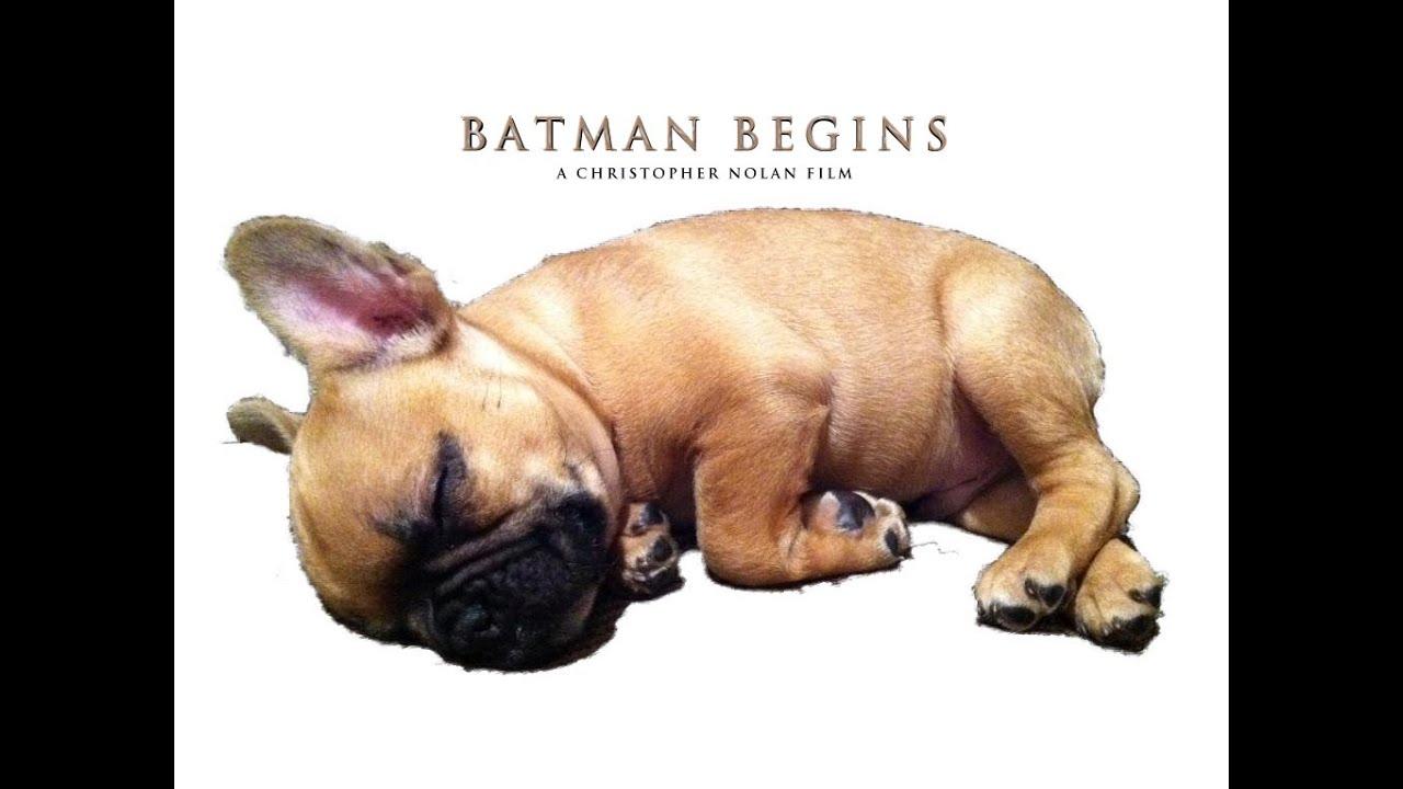 batman begins: 2 week old french bulldog puppy - youtube