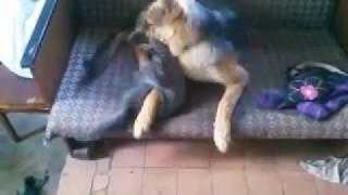 Боевые коты! Нападение кошек на собак, как дружат кот с собакой