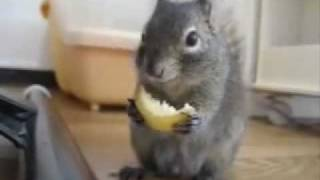 белочка кушает лимон.flv