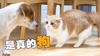 【喵來啦】貓狗相見世界大亂狗子突然闖進貓的地盤結局萬萬沒想到...
