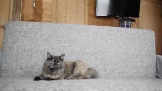 Сибирская кошка - Отрада Из Одиссеи часть 1