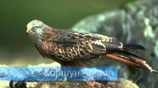 уроки шведского, название птиц