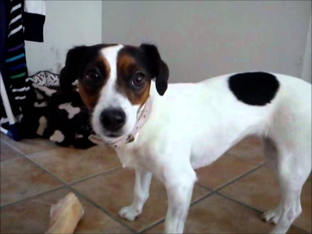 Jack Russell protects her bone