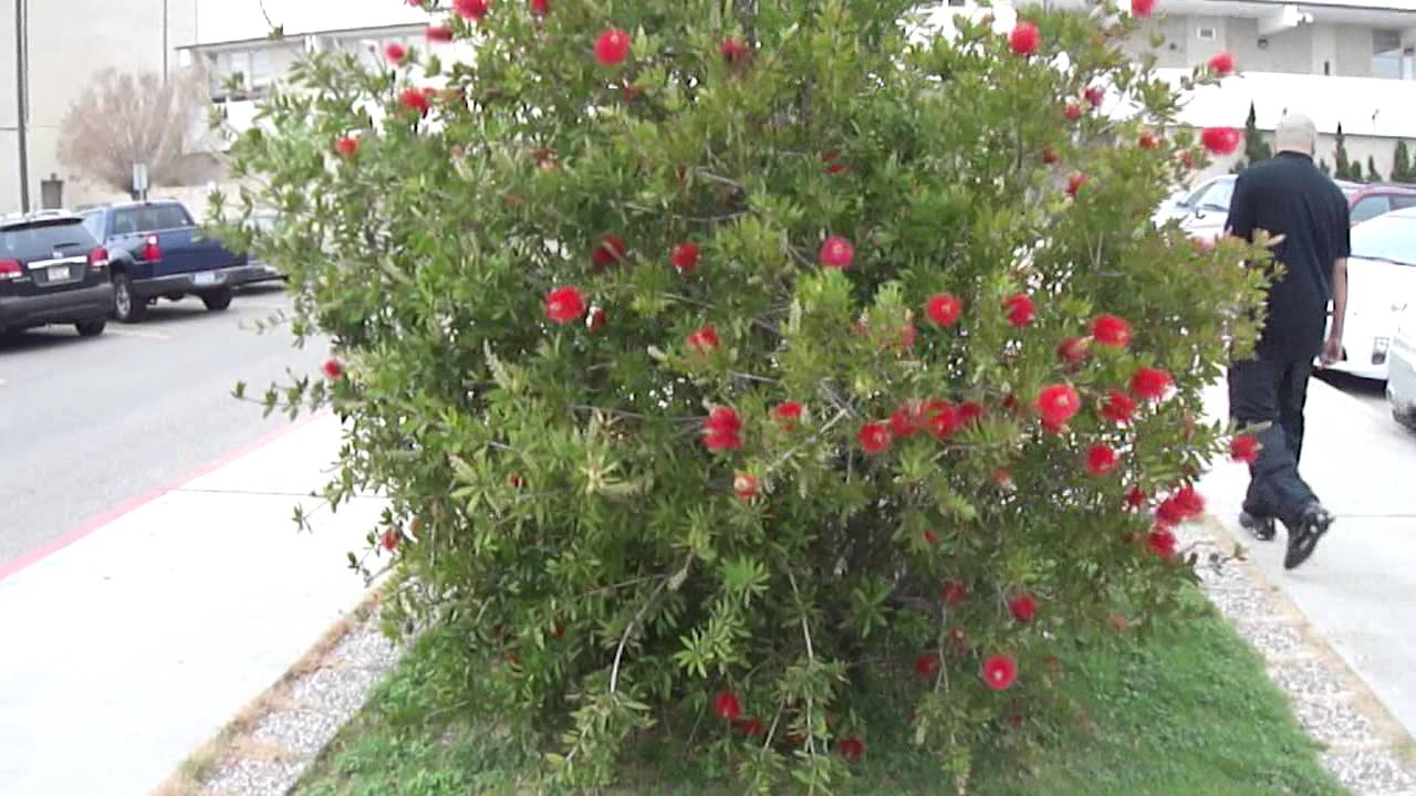 Blooming Bush With Red Flowers