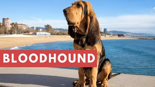 Dogs: Bloodhound Breed Information And Personality