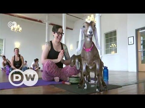 Keçilerle yoga modası - DW Türkçe