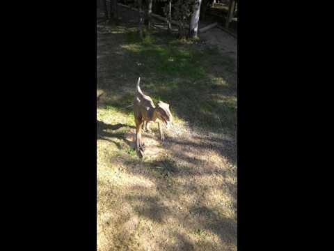 Dinosaurio vivo atrapado real!!! dinosaur in Argentina