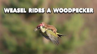 Weasel Rides a Woodpecker  ( #WeaselPecker )