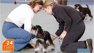Маленькая супер-собака – цвергшнауцер | Элита | ТВР24 | Сергиев Посад