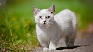 Уход за кошкой породы Манчкин, Породы кошек
