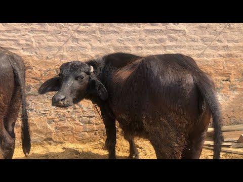 FOR SALE - Murrah Buffalo,3rd lactation, Milk -16 kg in