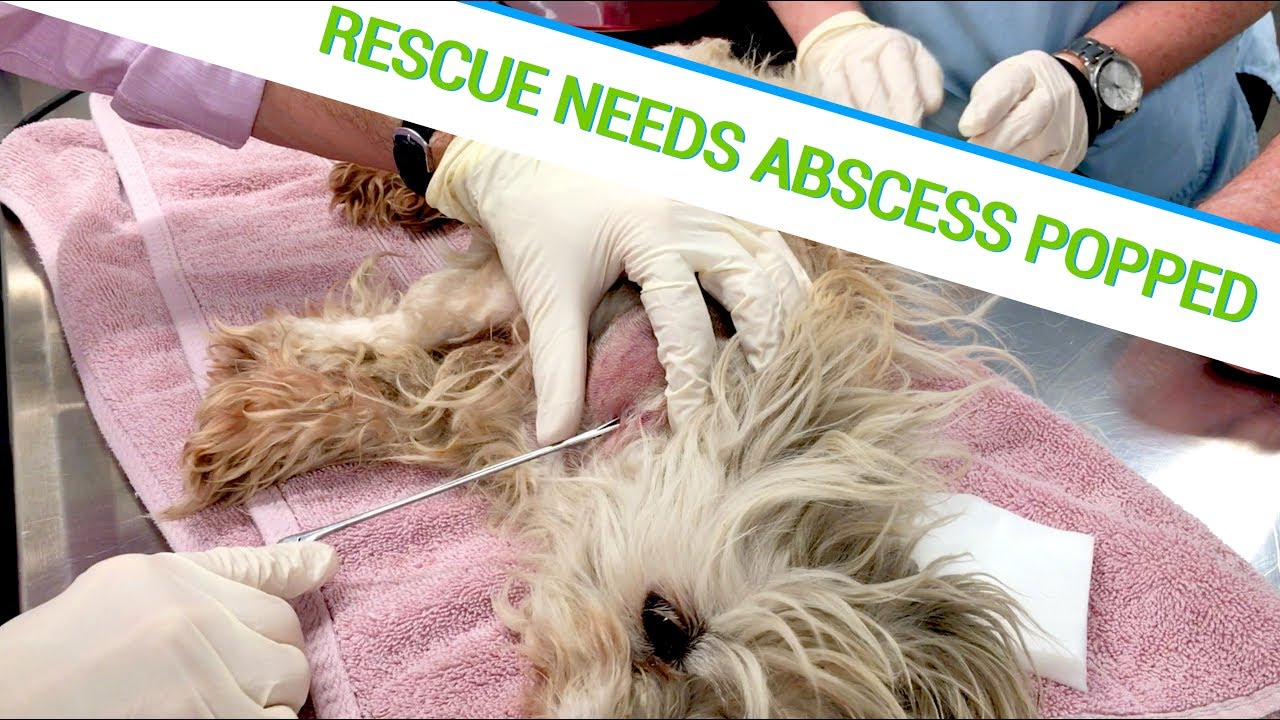 Abscess Popping Rescue Puppy Youtube