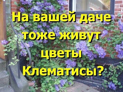 В ваших садах тоже живут красавцы клематисы? Фото клематисов