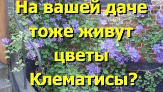 В ваших садах тоже живут красавцы клематисы? Фото клематисов(Какие цветы посадить на даче? Клематисы Оригинальность этих цветов, их необычный для природной зоны средне..., 2014-08-31T19:37:32.000Z)