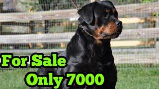 Rottweiler Female for sale onl…